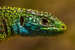 Lacerta bilineata (Western green lizard)