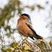 Brahminy Starling - Koladeo Reserve (Neil Pont)