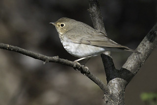Swainson's Thrush | by Kelly Colgan Azar
