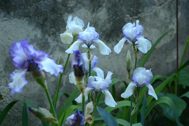 Iris 'Ma Mie' - Ferdinand Cayeux 1906 33718469794_f4c7d65ba4_z