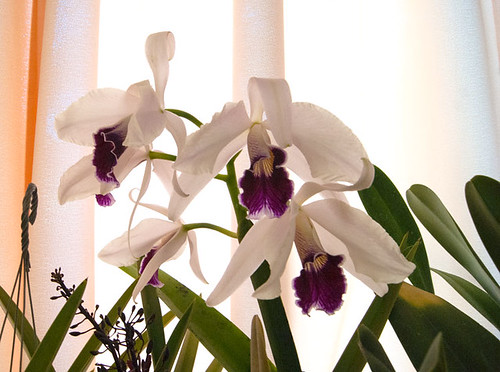 Cattleya purpurata | by lkchan