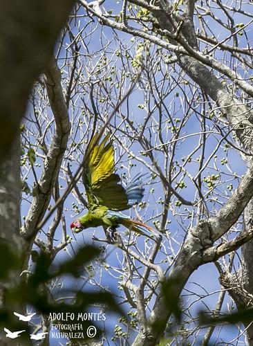 jalisco canon méxico aramilitaris guacamayaverde ficus cajóndepeñas