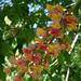 Small photo of Aesculus x carnea 'Briotii' (Cultivar of Horsechestnut)