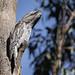 Tawny Frogmouth 2017-05-03 (60D_0279) by ajhaysom