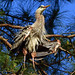 One Wild & Crazy Guy~ Great Blue Heron by Brody J