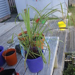 lemongrass planting in The Deck by shiny