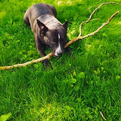 """Play nicely and chew on a big stick.."" - Cha Cha my #pitbull - #pitbulldad #pitbulllove #pitbulladvocate #pitbullsofinstagram #vagabond"