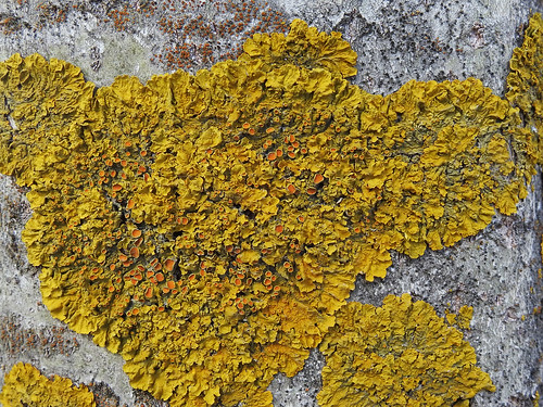 Xanthoria parietina - Maritime Sunburst Lichen Photo by Kari Pihlaviita www.flickr.com/photos/42267636@N08/ Автор фото: Kari Pihlaviita