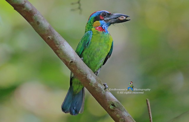 6F8A3892  Red-Crowned Barbet, Canon EOS 7D MARK II, EF400mm f/5.6L USM