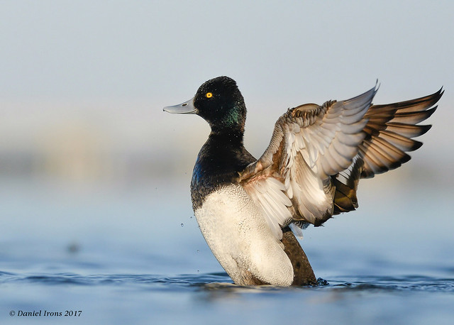 Lesser Scaup (Explored#16), Nikon D610, AF-S Nikkor 300mm f/4D IF-ED
