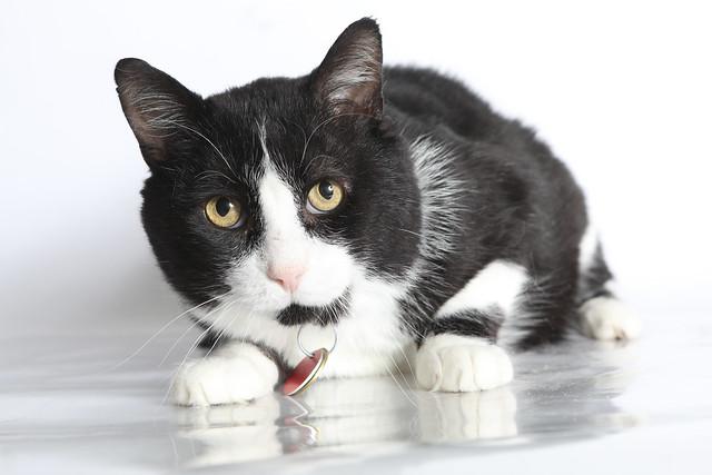 A199613 -- tony -- black and white tuxedo cat