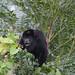 Mantled Howler Monkey (Tarina Hill)