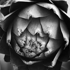 Artichoke #monochromatic #monochrome #bwlandscape #bwphoto #blackandwhite #blackandwhitephotography #vegatable #artichoke #noiretblanc