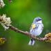 Singing Yellow-rumped Warbler (Myrtle)