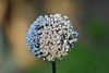 Lavender Ball (Allium)