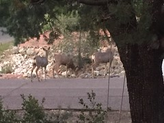 When the deer family decides to swing by... #prescottmemories #washingtonbound