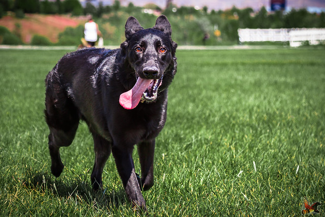 Dog Park_Lucy-5783, Canon EOS REBEL T5I, Canon EF 24-105mm f/4L IS