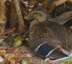 Birds / Mallard Duck's
