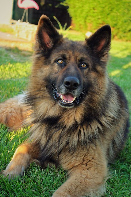 MAKS German Shepherd
