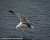 Seagull in Flight by Philip Pound Photography