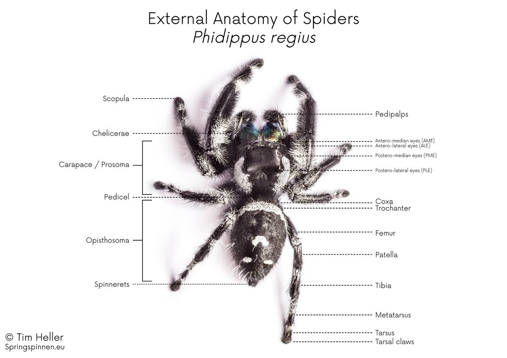 External Anatomy Of Spiders Springspinnen