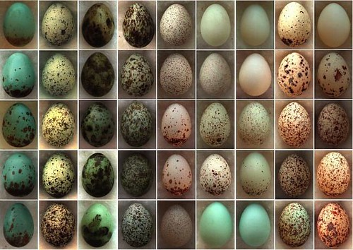 These egg varieties are no accident -- they're an anti-counterfeit strategy. Some birds lay lookalike eggs in other species' nests to trick the foster parents into raising their chicks. While the impostors try to go undetected, their victims evolve more d