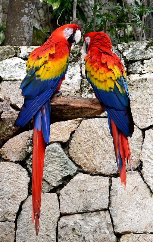 The scarlet macaw. Nikon D3100. DSC_00694