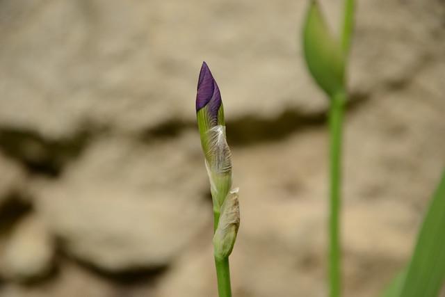 Iris 'Queen of May' - John Salter (avant 1859)  33715734744_384a05fae1_z