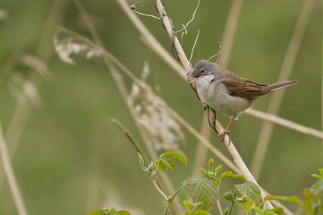 Common Whitethroat (Sylvia communis), Canon EOS 7D, Canon EF 300mm f/4L IS + 1.4x