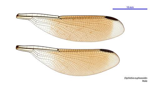 taxonomy:order=odonata wings hindwing zygoptera geo:country=australia australia diphlebiaeuphoeoides forewing taxonomy:binomial=diphlebiaeuphoeoides diphlebia australianmuseum dragonfly lestoideidae taxonomy:family=lestoideidae tropicalrockmaster odonata euphoeoides damselfly