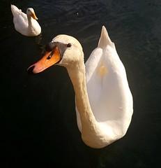 Swan saying hi