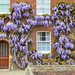 The Great Wisteria Of Hampton Court Palace by Joe Shlabotnik