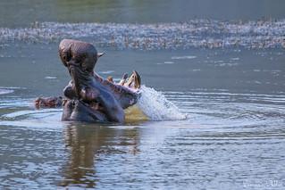 Wild hippo