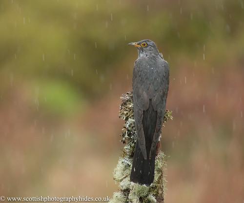 15th May 2017 Cuckoo