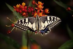Borboletas (Butterflies)
