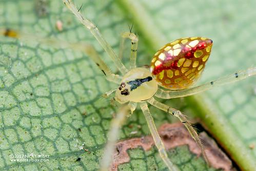 Mirror spider (Thwaitesia sp.) - DSC_4251
