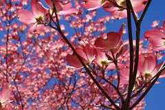 Pink Dogwood Blossoms and Blue, Blue Sky