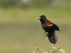 Red-winged Blackbird - rwbl