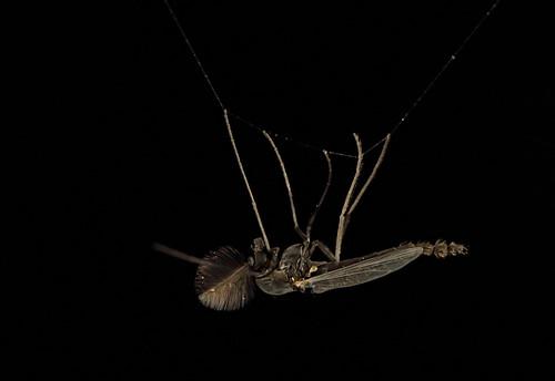 Midge on spiders web