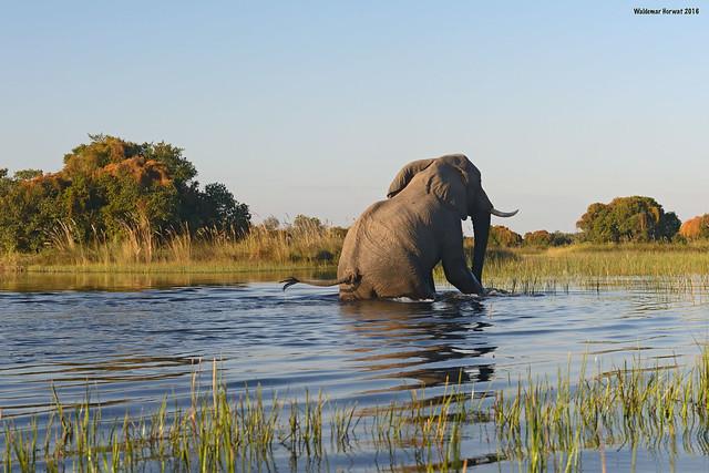 Elephant Crossing River