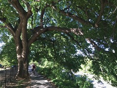 Majestic elm and path in Rose Park, Georgetown, Washington, D.C.