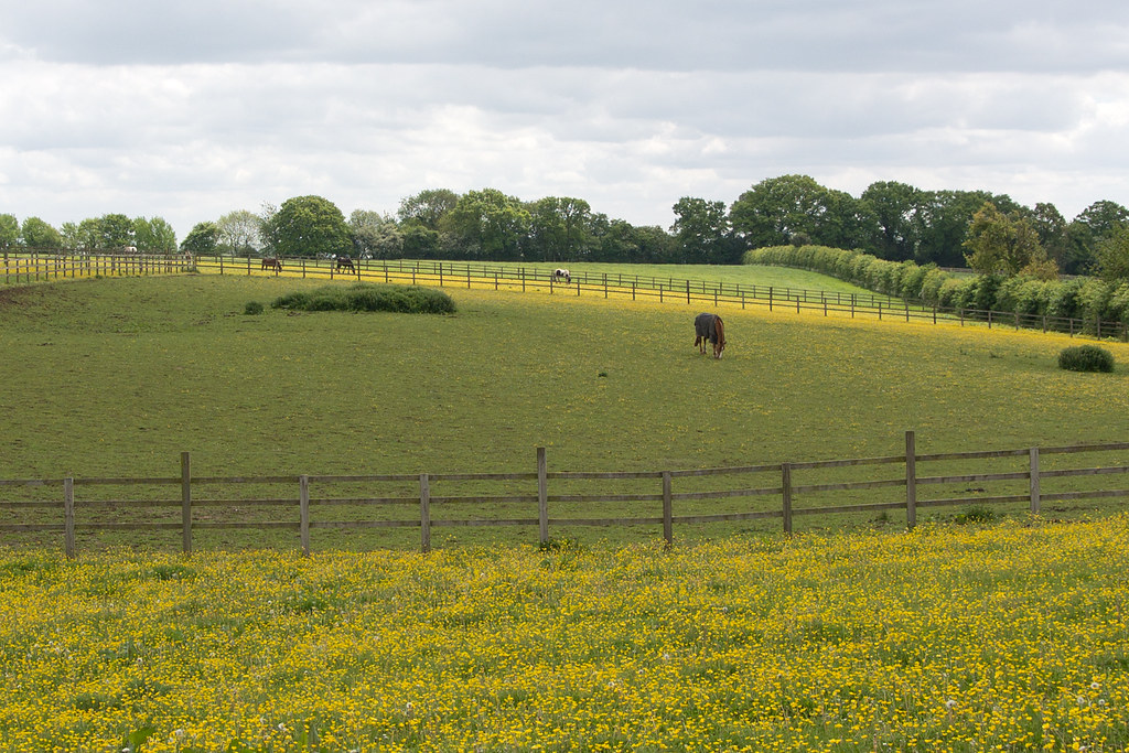 Buttercup and Daisy Field Princes Risborough to Great Missenden