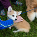 Corgi puppy at the corgi fun fair