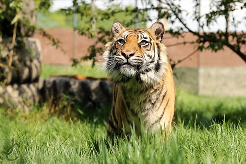 WHF: Puna (Sumatran Tiger)