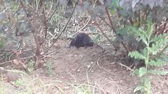 ben voil�, les rats ont envahi le quartier du moulin, nourris abondamment par les clients d'une charmante friterie toute proche...