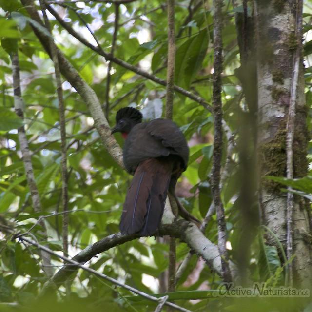 crested guan 0001 Corcovado, Osa peninsula, Costa Rica