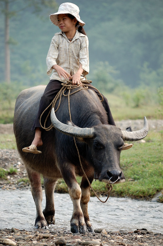 Walking_the_water_buffalo