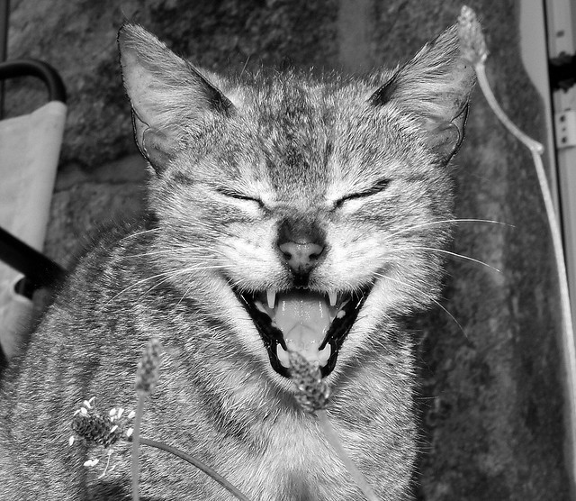 Vella jata tola/Crazy old cat