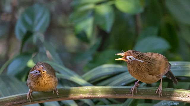 Chinese Hwamei or Melodious Laughingthrush (Garrulax canorus) Exchanging Love Songs (or Somethung) - Owens Aviary - San Diego Zoo