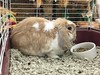 Butterscotch is a sweet, neutered male Holland Lop rabbit that is available for adoption through Acadiana Humane Society.
